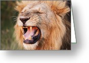 African Cats Greeting Cards - Snarling Lion Greeting Card by Richard Garvey-Williams
