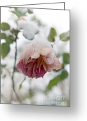 Snow Covered Greeting Cards - Snow-covered rose flower Greeting Card by Frank Tschakert