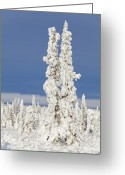 Tree-covered Greeting Cards - Snow Covered Spruce Trees Greeting Card by Tim Grams