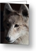 Intent Greeting Cards - Snow Coyote Greeting Card by Douglas Barnett