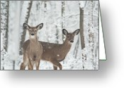 Peering Greeting Cards - Snow Deer Greeting Card by Douglas Barnett