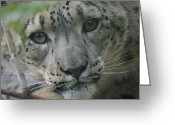 Leopards Greeting Cards - Snow Leopard 10 Greeting Card by Ernie Echols