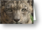 Leopards Greeting Cards - Snow Leopard 13 Greeting Card by Ernie Echols