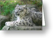 Leopards Greeting Cards - Snow Leopard Greeting Card by Jennie Marie Schell