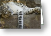 Leopard Greeting Cards - Snow Leopard Nap Greeting Card by Mike  Dawson