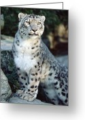 Sp Greeting Cards - Snow Leopard Uncia Uncia Portrait Greeting Card by Gerry Ellis