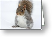Squirrels In Snow Greeting Cards - Snow Squirrel Greeting Card by Karol  Livote