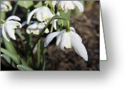 Spring Greeting Cards - Snowdrops Greeting Card by Teresa Mucha