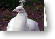Albino Peacock Greeting Cards - Snowflake Greeting Card by George Cousins