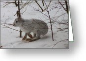 Hare Greeting Cards - Snowshoe Hare Greeting Card by John Burk