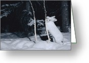 Hare Greeting Cards - Snowshoe Hare Lepus Americanus Gnawing Greeting Card by Michael Quinton