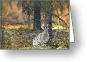 Hare Greeting Cards - Snowshoe Hare Greeting Card by Rick Berk