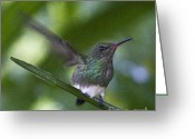 Colorful Birds Photo Greeting Cards - Snowy bellied Hummingbird Greeting Card by Heiko Koehrer-Wagner