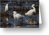 Migrating Bird Greeting Cards - Snowy Egret . 7D11903 Greeting Card by Wingsdomain Art and Photography