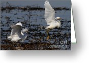 Migrating Bird Greeting Cards - Snowy Egret . 7D11958 . Version 2 Greeting Card by Wingsdomain Art and Photography