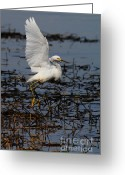 Migrating Bird Greeting Cards - Snowy Egret . 7D11958 . Vertical Cut Greeting Card by Wingsdomain Art and Photography