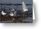 Migrating Bird Greeting Cards - Snowy Egret . 7D11958 Greeting Card by Wingsdomain Art and Photography