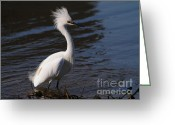 Migrating Bird Greeting Cards - Snowy Egret . Bad Hair Day . 7D11892 Greeting Card by Wingsdomain Art and Photography