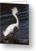 Migrating Bird Greeting Cards - Snowy Egret . Bad Hair Day . Vertical Cut . 7D11892 Greeting Card by Wingsdomain Art and Photography