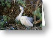 Colorado Creatures Greeting Cards - Snowy Egret Greeting Card by Crystal Garner