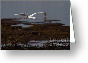 Migrating Bird Greeting Cards - Snowy Egret . Incoming . 7D12038 Greeting Card by Wingsdomain Art and Photography