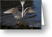 Migrating Bird Greeting Cards - Snowy Egret . Maybe They Wont Notice My Bad Hair Day If I Show My Eagle Stance . 7D11890 Greeting Card by Wingsdomain Art and Photography