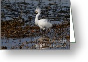 Migrating Bird Greeting Cards - Snowy Egret . Solitude . 7D11963 Greeting Card by Wingsdomain Art and Photography