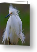 Photo Art Greeting Cards - Snowy Egret Struts Greeting Card by William Jobes
