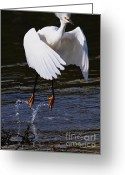 Migrating Bird Greeting Cards - Snowy Egret . They Call Me Happy Feet . 7D11887 Greeting Card by Wingsdomain Art and Photography