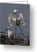 Migrating Bird Greeting Cards - Snowy Egret . They Call Me Happy Feet Too . 7D12044 Greeting Card by Wingsdomain Art and Photography