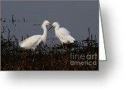 Migrating Bird Greeting Cards - Snowy Egret . This Swan Heart Shape Thing Is Not As Easy As It Looks . 7D12062 Greeting Card by Wingsdomain Art and Photography