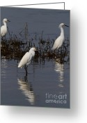 Migrating Bird Greeting Cards - Snowy Egret . Three Is Company . 7D12055 Greeting Card by Wingsdomain Art and Photography