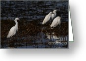 Migrating Bird Greeting Cards - Snowy Egret . Trying To Fit In . 7D11966 Greeting Card by Wingsdomain Art and Photography