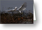 Migrating Bird Greeting Cards - Snowy Egret . Wiiiiiiiiiiiiii . 7D12048 Greeting Card by Wingsdomain Art and Photography