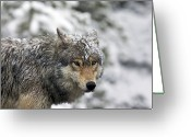 Prowling Greeting Cards - Snowy Grey Wolf Greeting Card by Photo By Daryl L. Hunter - The Hole Picture