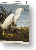 Heron Greeting Cards - Snowy Heron Greeting Card by John James Audubon