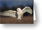Owl Photography Greeting Cards - Snowy Owl Adult Balancing On A Stump Greeting Card by Tim Fitzharris