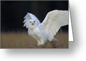 Raptor Photography Greeting Cards - Snowy Owl Adult Circumpolar Species Greeting Card by Tim Fitzharris