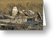 Winter Sleep Greeting Cards - Snowy Owl in Slumber Greeting Card by Sean Griffin