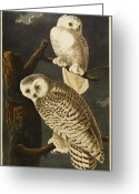 Drawing Of Bird Greeting Cards - Snowy Owl Greeting Card by John James Audubon
