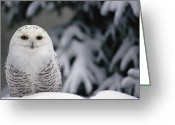 Owl Photography Greeting Cards - Snowy Owl Nyctea Scandiaca Camouflaged Greeting Card by Gerry Ellis