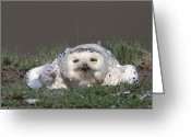 Owl Photography Greeting Cards - Snowy Owl Nyctea Scandiaca Mother Greeting Card by Konrad Wothe