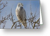 Owls Bird Of Prey Greeting Cards - Snowy Owl with closed eyes at the top of a tree with blue skies. Greeting Card by Michel Soucy