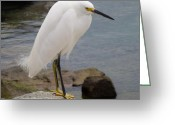 Snowy Night Greeting Cards - Snowy White Egret Standing Tall Greeting Card by Jean Marshall