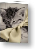 Gray Tabby Greeting Cards - Soft Greeting Card by Amy Tyler
