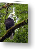 Kitsap Peninsula Greeting Cards - Sol Duc Eagle Greeting Card by James Geddes