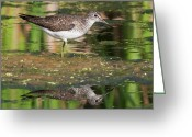 Sandpiper Greeting Cards - Solitary Sandpiper.. Greeting Card by Nina Stavlund