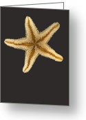 Ocean Greeting Cards - Solo Starfish II Greeting Card by Suzanne Gaff