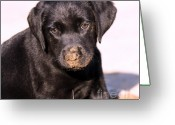 Black Lab Puppy Greeting Cards - Sometimes You Get Dirty Greeting Card by Cathy  Beharriell