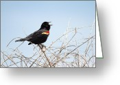 Wild Bird Greeting Cards - Song of a Red-Winged Blackbird Greeting Card by Ellie Teramoto
